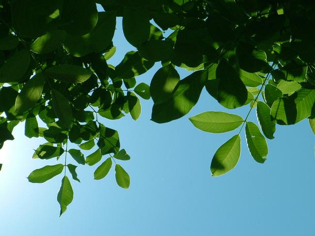 listy stromu ořešáku