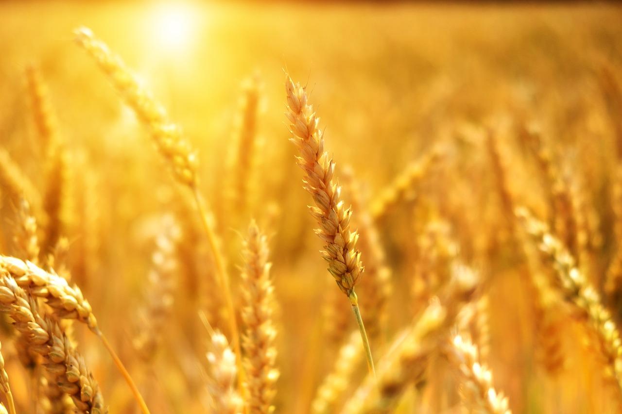 pšenice na poli se sluncem